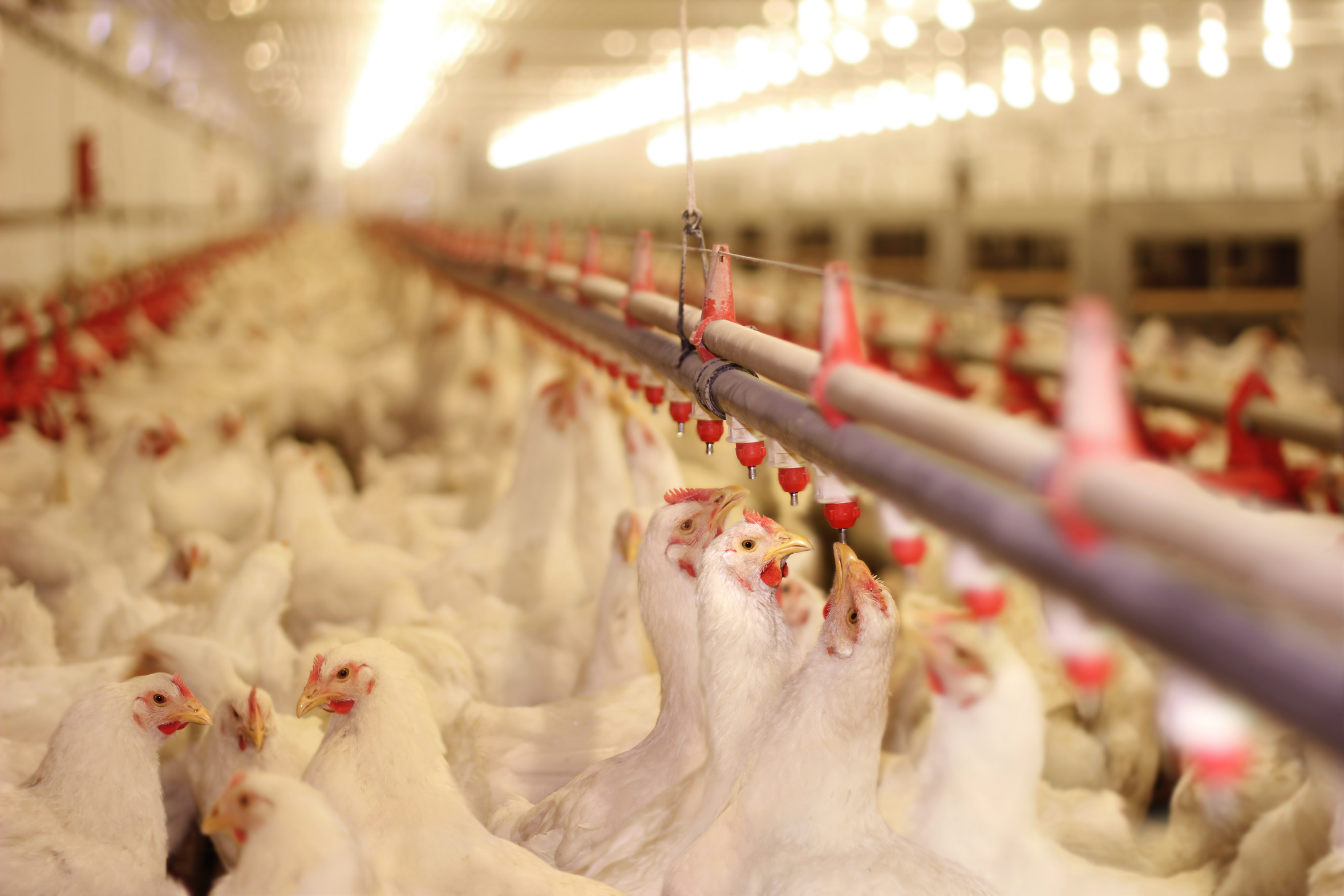 Temperature as a key factor in poultry breeding